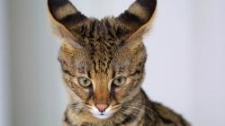 Уши кошек. Слух и равновесие