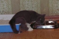 Причины хронической диареи кошек