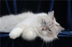 Генетика колор-пойнтного окраса кошек