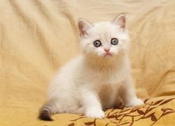 Колор-пойнтный окрас. Котята