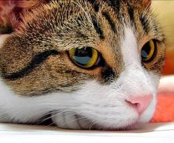 Кошка грызет провода, занавески
