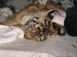 Еле выживший тигренок