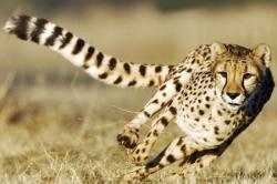 Гепарды — пятнистые спринтеры