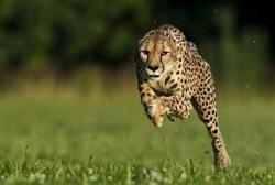 Гепард — жизнь в природе