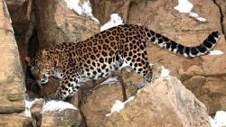 Переднеазиатский леопард в Северной Осетии!