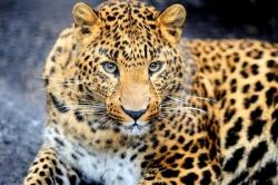 Самый северный леопард